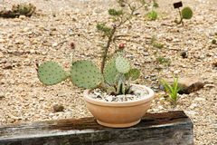 Opuntia cactus Royalty Free Stock Photography