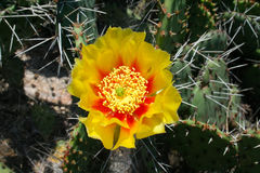 Opuntia cactus prickly pears with yellow flower Stock Photography
