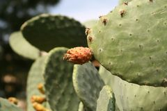 Prickly pear cactus Opuntia stock photos