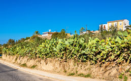 Opuntia cactus at a road in Paphos Royalty Free Stock Photography