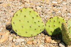 Opuntia Stock Photo
