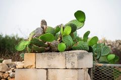 Opuntia cactus on stone and brick wall on Malta. Opuntia cactus typical for Malta vegetation growing on old brick and stone wall Stock Image