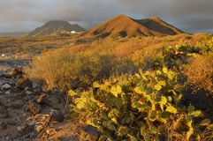 Volcanic landscape with cactus plants Tenerife Canary Islands royalty free stock image