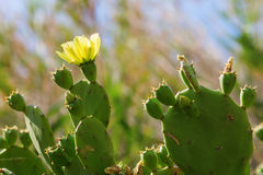 Opuntia cactus with yellow flower Stock Images
