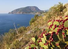Opuntia at Cape Plaka. Crimea. Stock Images