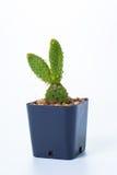 Opuntia cochenillifera and drop Royalty Free Stock Images
