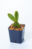 Opuntia cochenillifera and drop Stock Photo