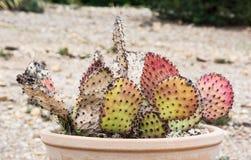 Opuntia cymochila Stock Images