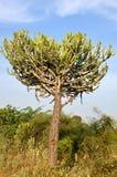 Opuntia dans Bagan, Myanmar Photographie stock