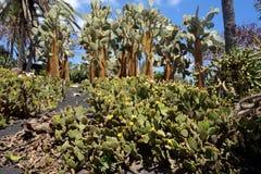 Opuntia dans le jardin botanique en île de Fuerteventura Photos libres de droits