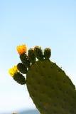 Opuntia ficus-Indica στην άνθιση Στοκ φωτογραφία με δικαίωμα ελεύθερης χρήσης