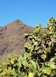 Opuntia ficus-indica Stock Images