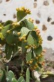Opuntia ficus-indica Images stock