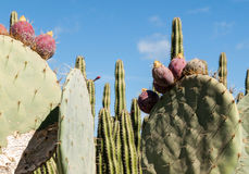 Opuntia ficus-indica Photos stock