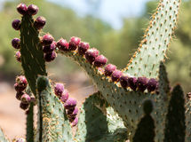 Opuntia ficus-indica Photographie stock libre de droits
