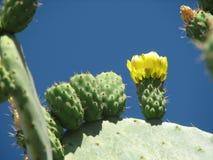 Opuntia ficus-indica Royalty Free Stock Photos
