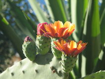 Opuntia ficus-indica Royalty Free Stock Image