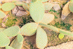 Opuntia ficus indica cactus Royalty Free Stock Images