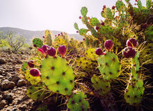 Opuntia ficus-indica Royalty Free Stock Photography