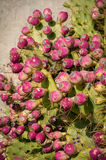 Opuntia Ficus Indica Figs Royalty Free Stock Image