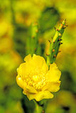 Opuntia ficus-indica with flower Stock Photos
