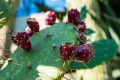 Opuntia ficus Indica fruits Stock Photography