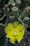 Spineless cactus or prickly pear in bloom Stock Images