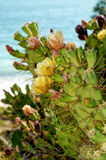 Opuntia ficus-indica by the Sea Stock Photos