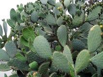 Opuntia Figue de Barbarie Fruit de cactus Fruit tropical photo stock