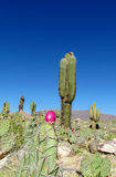 Opuntia fruit and huge cactus on the background Stock Photo
