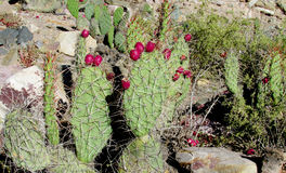 Opuntia fruits royalty free stock images