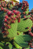 Opuntia Royalty Free Stock Images