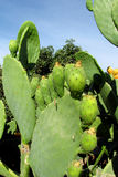 Opuntia green fruits and leaves Royalty Free Stock Photo