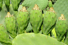 Opuntia green fruits and leaves Stock Photo
