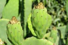 Opuntia green fruits stock photos