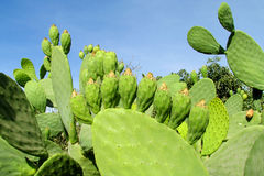 Opuntia green leaves and fruits Royalty Free Stock Photography