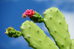 Opuntia green leaves and red flower in blossom Stock Photos