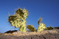 Opuntia growing on a rock, Fuerteventura, Canary I Royalty Free Stock Images