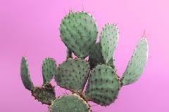 Opuntia Kłującej bonkrety zieleni kaktus z małymi ostrymi cierniami Odizolowywający na różowym tle Zdjęcia Royalty Free