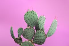 Opuntia Kłującej bonkrety zieleni kaktus z małymi ostrymi cierniami Odizolowywający na różowym tle Zdjęcie Royalty Free