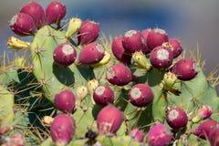 Opuntia kaktusów roślina z dojrzałymi czerwonymi owoc Zdjęcia Royalty Free