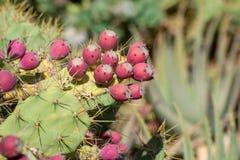 Opuntia kaktusów roślina z dojrzałymi czerwonymi owoc Obraz Royalty Free