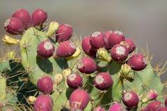 Opuntia kaktusów roślina z dojrzałymi czerwonymi owoc Obrazy Royalty Free