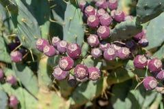 Opuntia Kaktus f?r taggigt p?ron med frukt royaltyfri foto