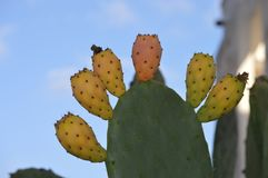 Opuntia kaktusa owoc Zdjęcia Royalty Free