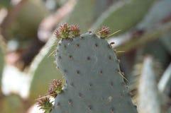 Opuntia kaktusowy owocowy szczegół Zdjęcie Royalty Free