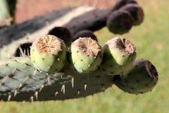 Opuntia lub kłującej bonkrety owoc Zdjęcie Stock