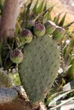 Opuntia lub kłującej bonkrety owoc Zdjęcia Stock