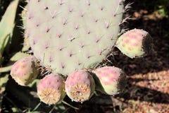 Opuntia lub kłującej bonkrety owoc Obrazy Stock