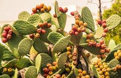 Opuntia med frukter Arkivfoton